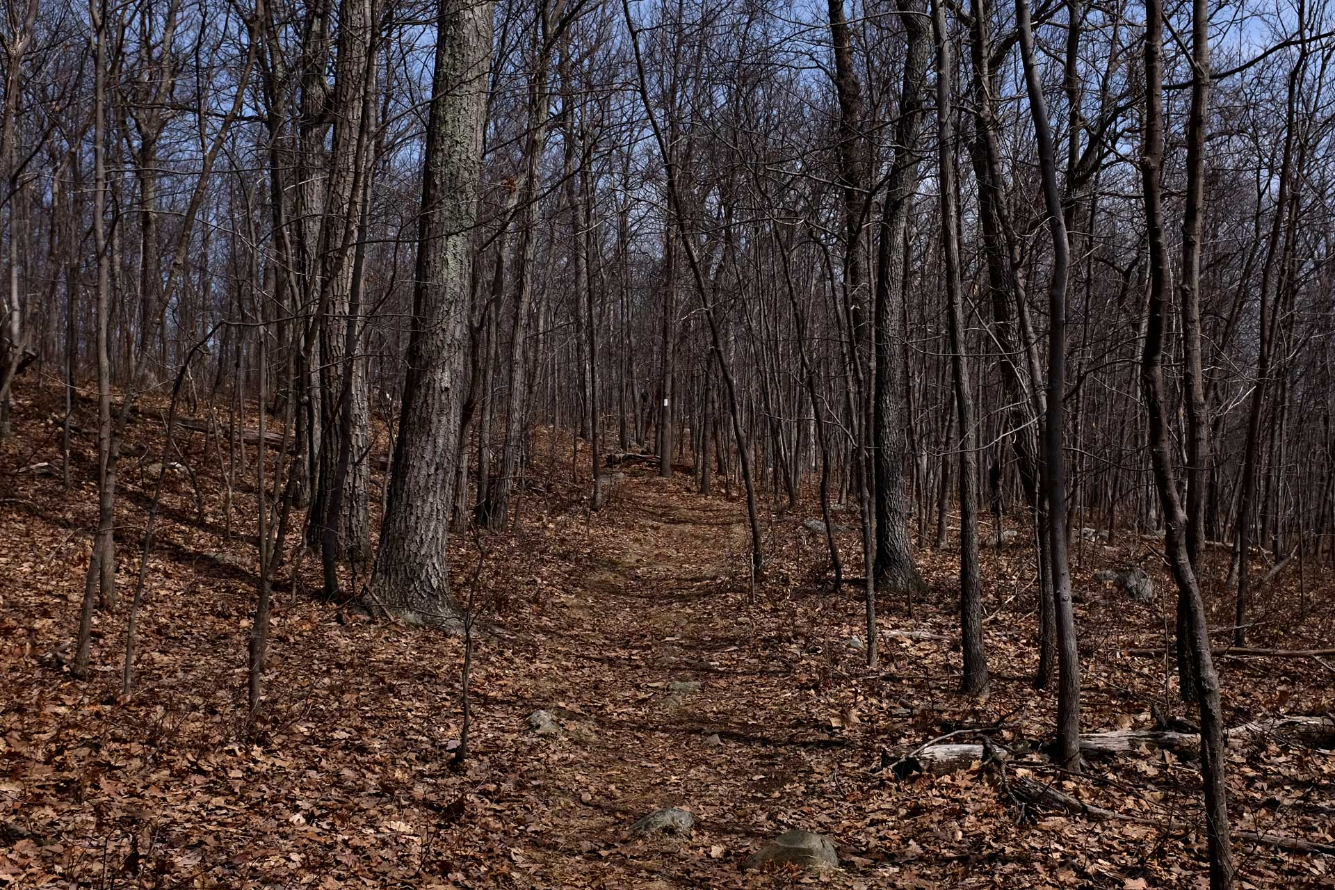 Photograph: A forest scene; hundreds of skinny trees, devoid of leaves, line a central trail. In the distance, a small vertical white stripe has been painted about six feet up one tree's trunk.